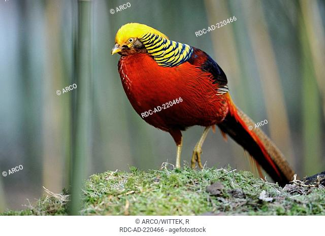 Golden Pheasant, male, Chrysolophus pictus