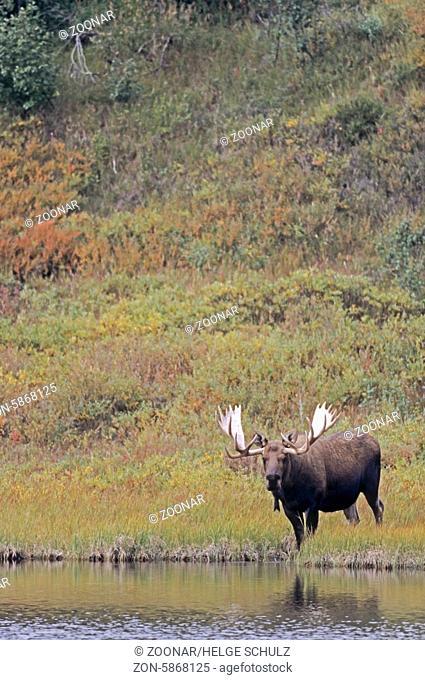 Elchschaufler steht an einem Teich in der Tundra - (Alaska-Elch) / Bull Moose standing next to a pond in the tundra - (Alaska Moose) / Alces alces - Alces alces...