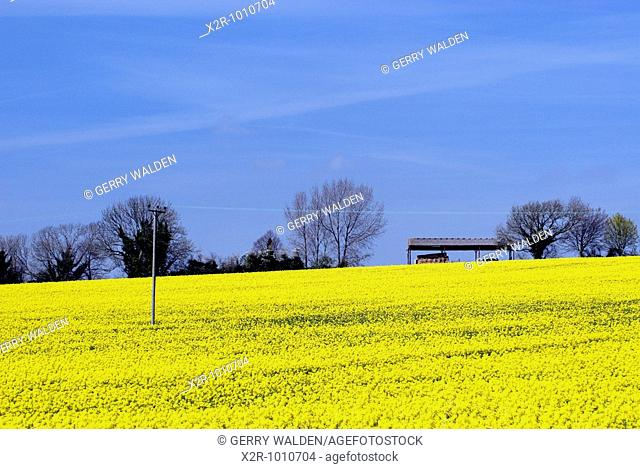 Field of rape flowers brassica napus with barn in the valley of the river Ebble close to Coombe Bissett in Wiltshire