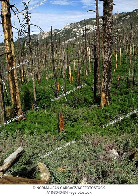 New growth of pines, ferns and other plants emerges from the forest floor following the Aspen Fire, Mint Spring Trail, Sonoran Desert, Coronado National Forest