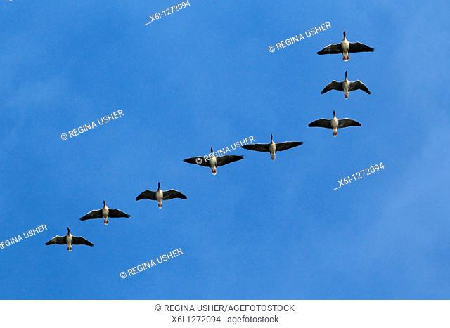 Pink-footed Geese Anser brachyrthynchus, in flight, autumn, Northumberland, England