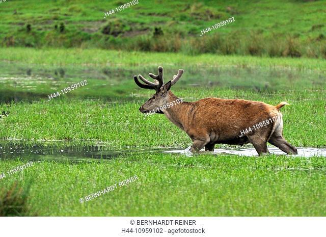 Red deer, antlers, antler, Cervid, Cervus elaphus, deer, stag, stags, hoofed animals, European deer, spring, velvet, water, animal, animals, Germany, Europe