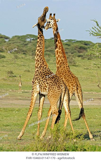 Masai Giraffe Giraffa camelopardalis tippelskirchi two adult males, fighting, 'necking' or 'neck-sparring', Serengeti N P , Tanzania