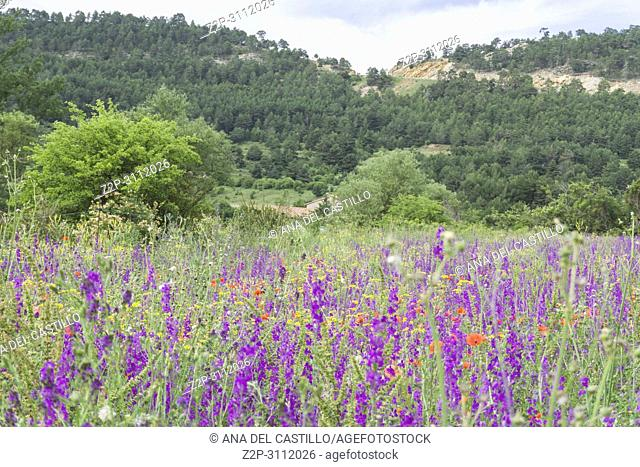 Consolida ajacis or Delphinium on meadow Gudar mountains Teruel Spain