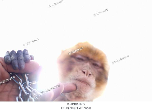 Hand stroking monkey