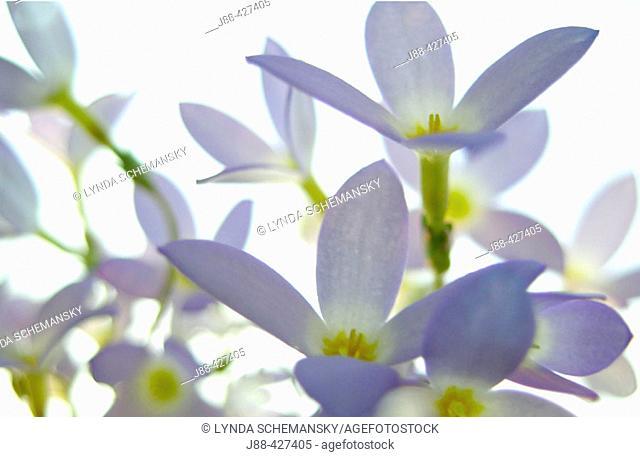 Bluets (Quaker Ladies, Houstonia caerulea, Hedyotis caerulea)