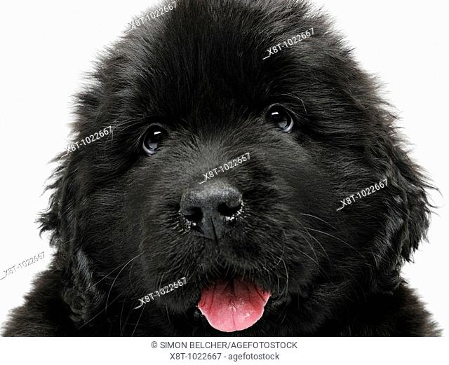 Newfoundland Puppy Dog, Close Up