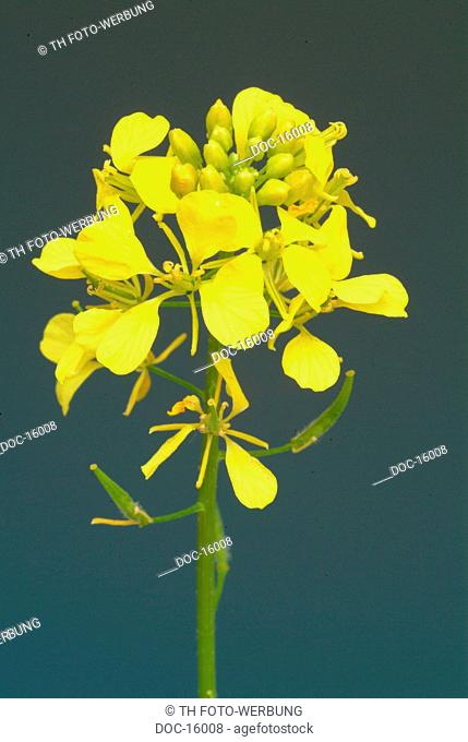 white mustard - medicinal plant - agriculture plant - Sinapis alba - Senape bianco - bianca -