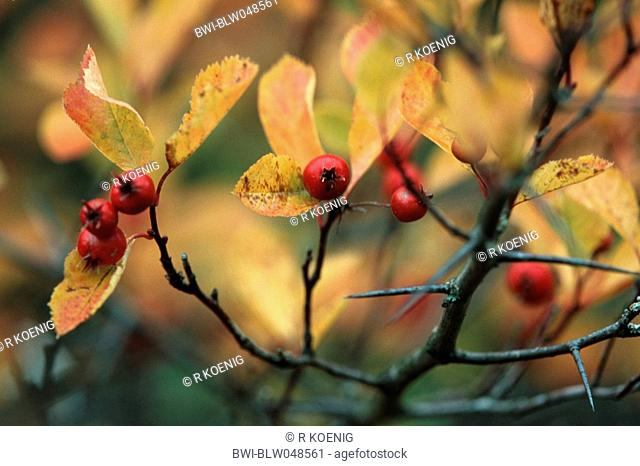 Thicket Hawthorn Crataegus intricata, with fruits