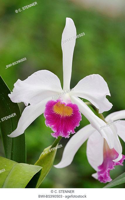 Cattleya (Cattleya purpurata, Laelia purpurata), flowers