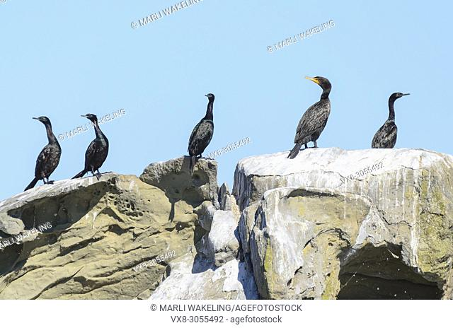 Pelagic cormorant, Phalocrocorax pelagicus and Double-Crested cormorants, Phalocrocorax auritus, Salish Sea, British Columbia, Canada, Pacific
