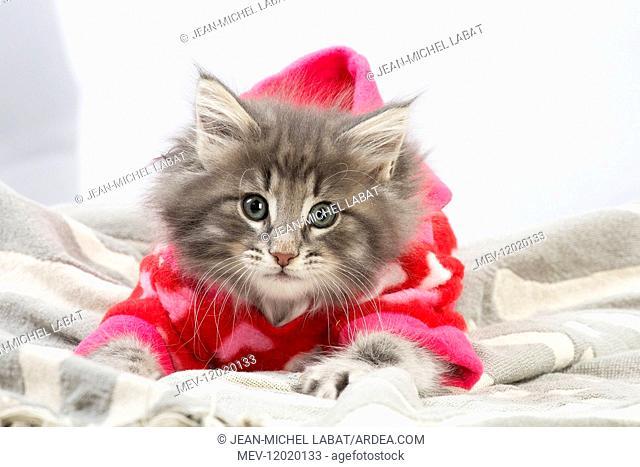 Norwegian Forest Cat, kitten wearing red hoodie