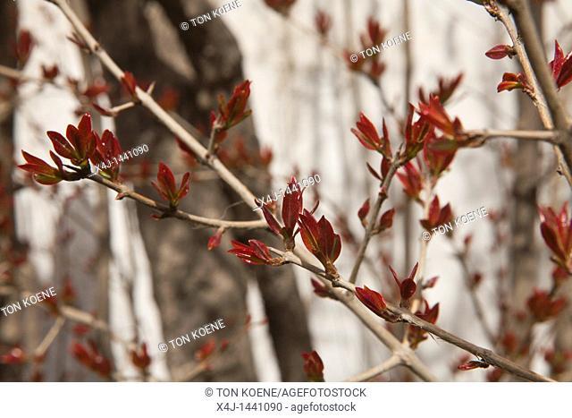 pomme-granate tree