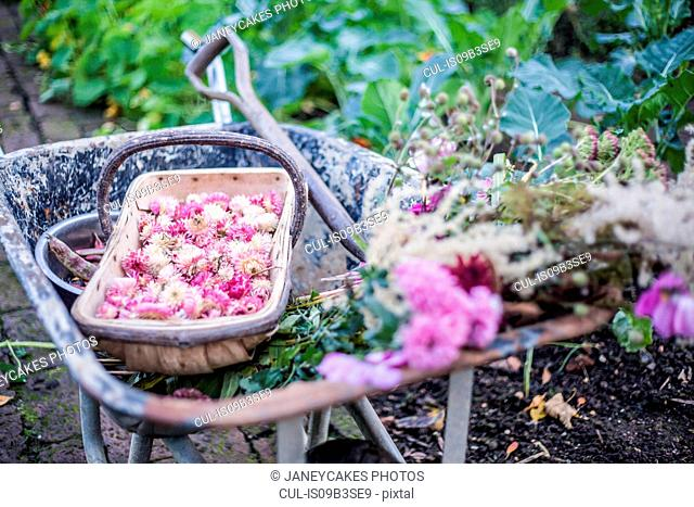 Picked flowers, Helichrysum bracteatum, in wheelbarrow