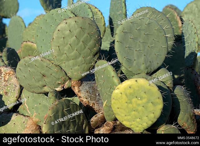 Prickly pear cultivation, Sicily