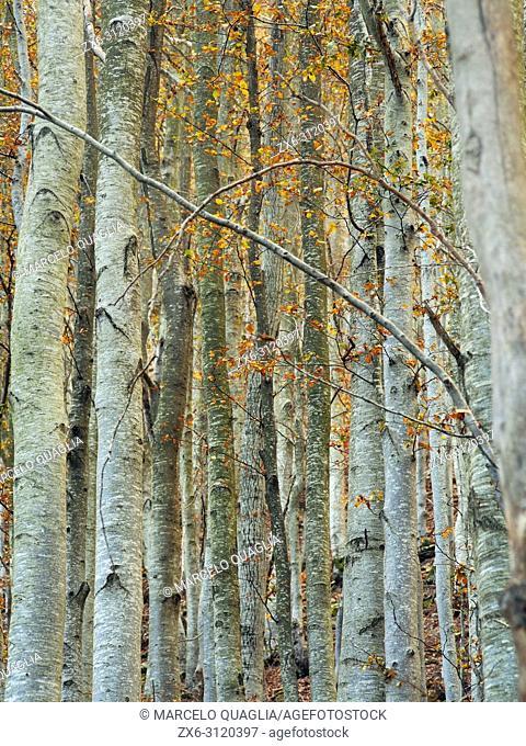 Autumn beech trees (Fagus sylvatica). Montseny Natural Park. Barcelona province, Catalonia, Spain