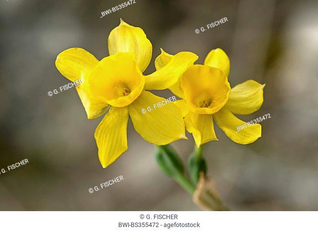 Daffodil (Narcissus assoanus, Narcissus juncifolius, Narcissus requienii), flowers, Spain, Andalusia, Sierra de Grazalema Natural Park