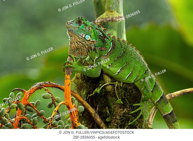 A juvenile Green Iguana, Iguana iguana, in a small palm tree in Costa Rica. Iguanas are primarily arboreal and live in trees