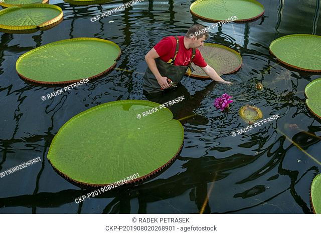 A gardener shows a blossom of Water Lily Victoria amazonica in the Botanic Gardens in Liberec on Friday, August 2, 2019. The plant is the largest species of...