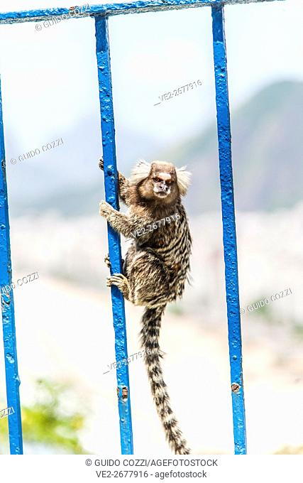 Small monkey at Morro de Leme, Rio de Janeiro, Brazil