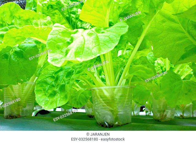 Organic vegetables grown on plastic pipes, PVC water visibly rotating through. Do not use chemicals