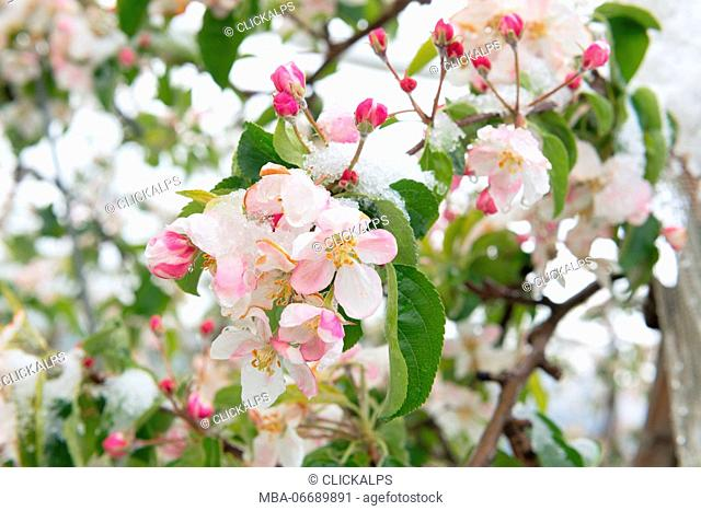 Italy, Trentino Alto Adige, Non Valley, snow on apple blossoms in an unusually cold spring day
