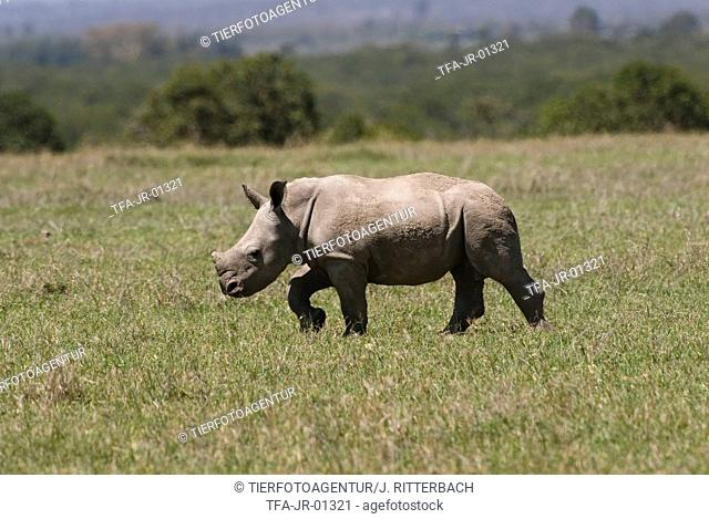 young white rhinoceros