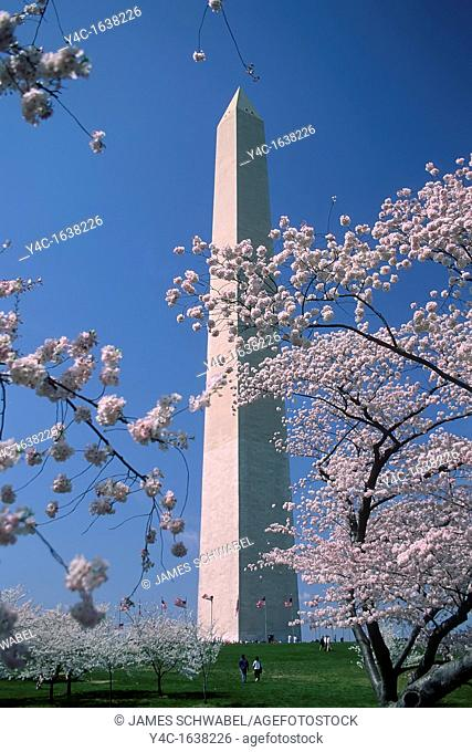 Spring Cherry Blossoms and Washington Monument in Washington DC