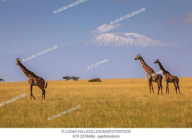 Giraffe, Giraffa camelopardalis, with Mount Kilimanjaro in the background, Chyulu Hills National Park, Kenya