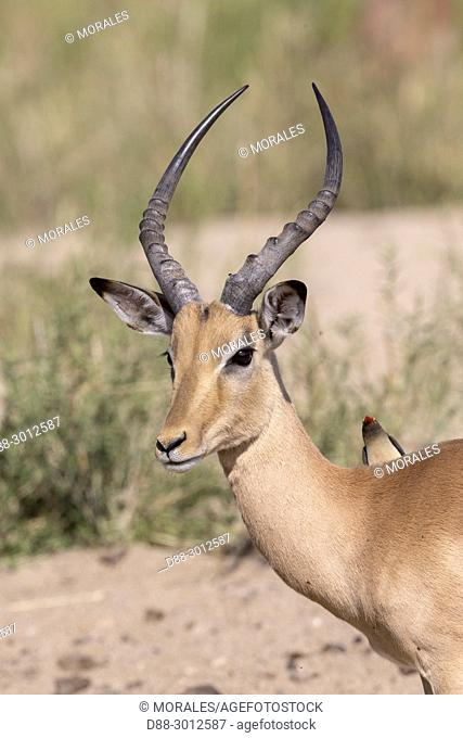 Africa, Southern Africa, South African Republic, Mala Mala game reserve, Impala (Aepyceros melampus), adult male with a Red-billed oxpecker (Buphagus...