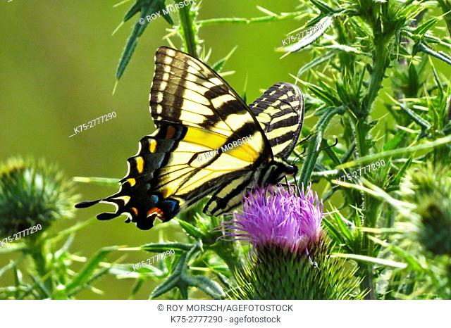 Eastern tiger swallowtail on thistle flower