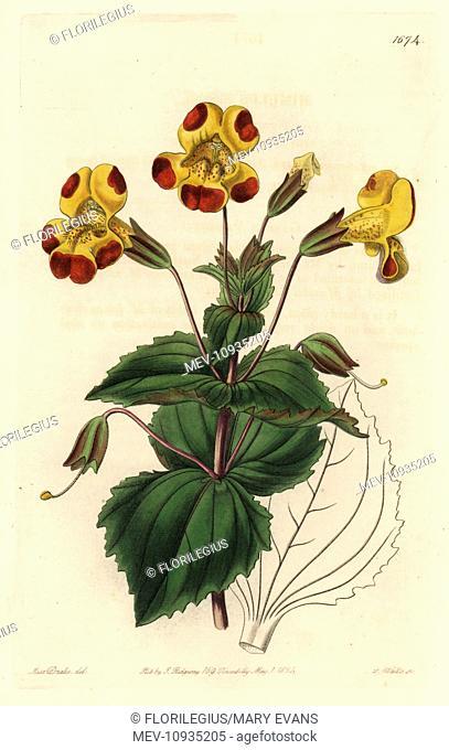 Mr. Smith's monkey flower, Mimulus smithii. Handcolored copperplate engraving after a botanical illustration from Sydenham Edwards' The Botanical Register