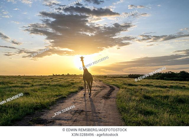 Masai giraffe (Giraffa camelopardalis tippelskirchii) in a field with sun behind it in Maasai Mara National Reserve, Kenya