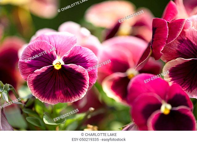 Close up of bright magenta pansy with deep purple blotch and yellow center