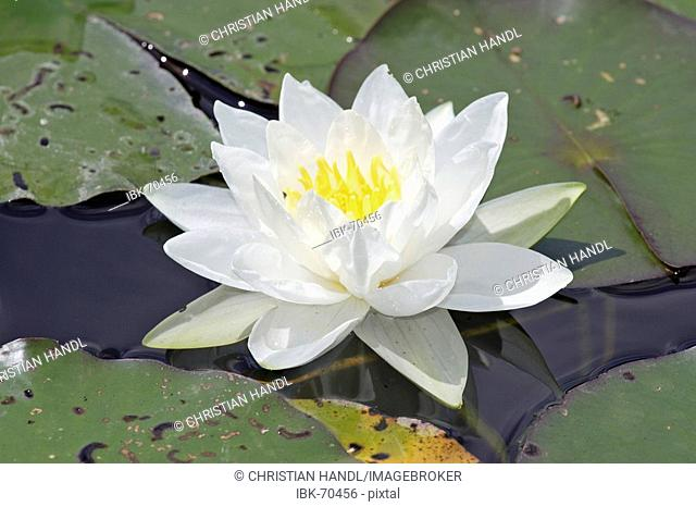 White waterlily nymphaea alba Bavaria Germany