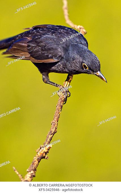 Blackbird, Turdus merula, Mirlo Común, Castilla y León, Spain, Europe