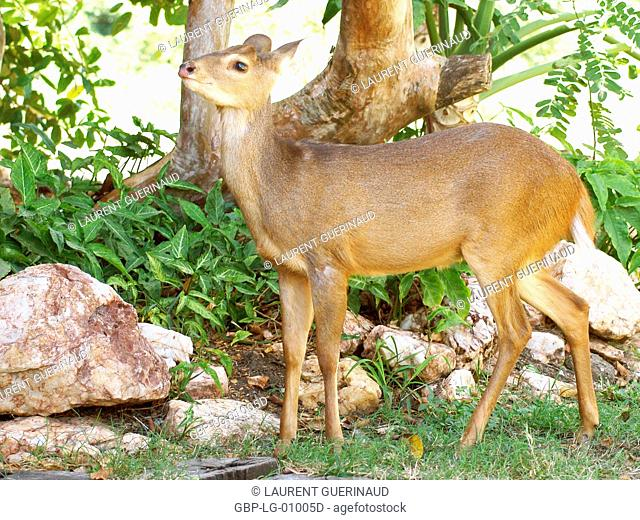 Deer of the Swampland, Nestling, Pantanal, Mato Grosso do Sul, Brazil