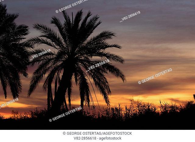Palm sunrise, Betty's Kitchen Wildlife and Interpretive Area, Yuma County, Arizona