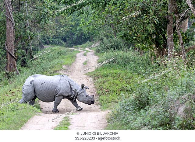 Indian Rhinoceros (Rhinoceros unicornis). Adult crossing a dust road. Kaziranga National Park, India