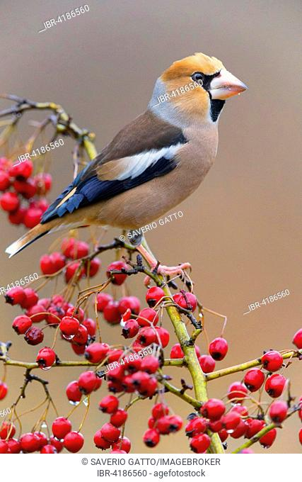 Hawfinch (Coccothraustes coccothraustes), adult male perched on hawthorn branch with berries, Tuscany, Italy