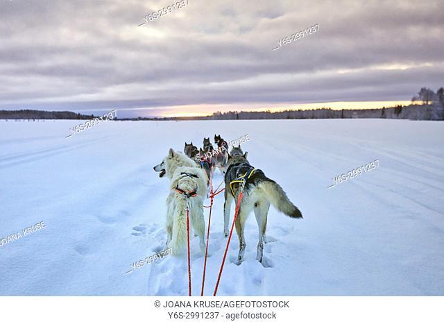 Huskies, Lulea, Swedish Lapland, Sweden, Europe