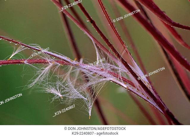 Fireweed (Epilobium angustifolium) seedpods releasing windblown seeds, Greater Sudbury, Ontario, Canada