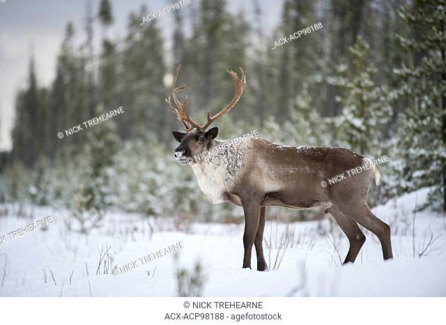 Rangifer tarandus caribou, Woodland Caribou, Boreal, British Columbia, Canada