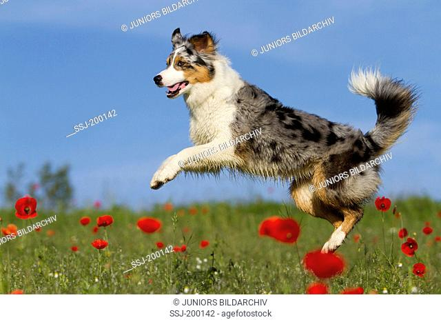Australian Shepherd (blue merle). Adult dog leaping on a meadow with flowering Poppies. Germany