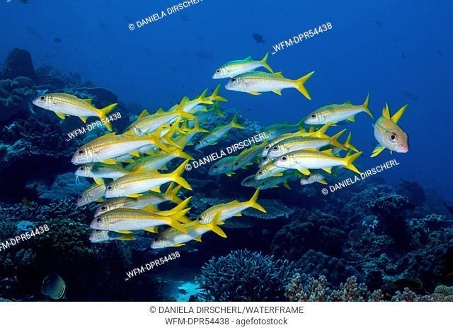Shoal of Yellowfin Goatfish, Mulloidichthys vanicolensis, Ambon, Moluccas, Indonesia
