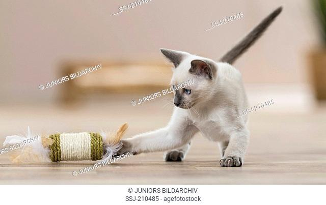 Siamese Cat. Kitten playing in a living room with a toy. Germany. Restriction: Not for guide books for pet care until 9/2018