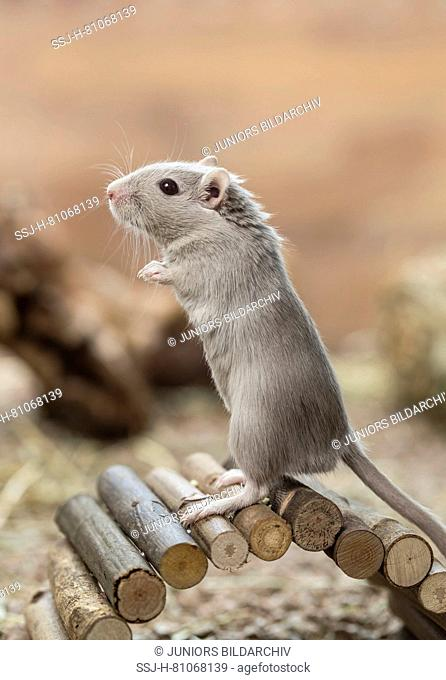 Domesticated Gerbil (Meriones unguiculatus). Adult male standing upright on a small bridge. Germany