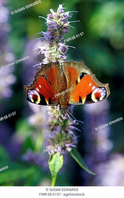 Insect, Peacock butterfly, Inachis io, on a mauve flowering stem of Hyssop, an Agastache cultivar