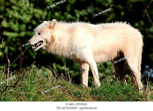 An Arctic wolf standing in grassland, Canis lupus arctos