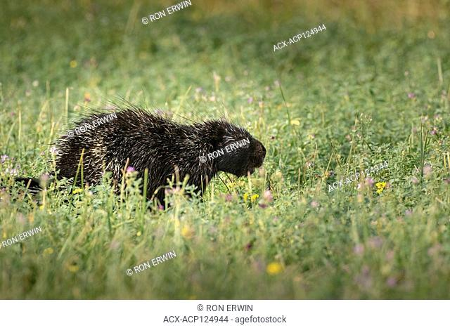 North American Porcupine (Erethizon dorsatum dorsatum), Barrie Island, Manitoulin Island, Ontario, Canada